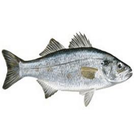 דג לברק במשלוח עד הבית