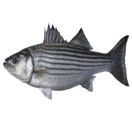 דג נסיכת הנילוס - דגים טרים ומתכוני דגים